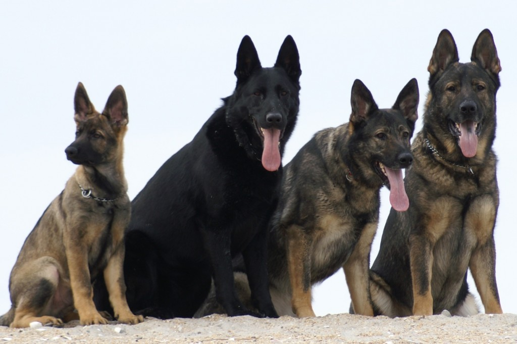 Quality German Shepherds