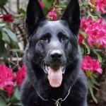 New York Canine's Mika vom Lichtenwalde