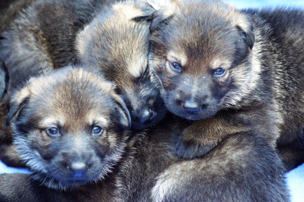 Bara and Iggy puppies
